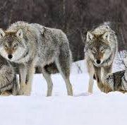 Стая волков напугала жителей Татарского района