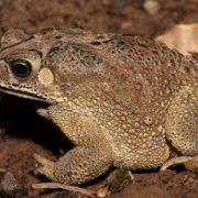 Новосибирские туристы случайно привезли жабу из Таиланда