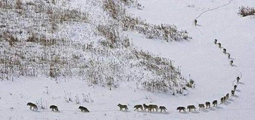 Фейк. Жителей Алтайского края пугают огромной стаей волков