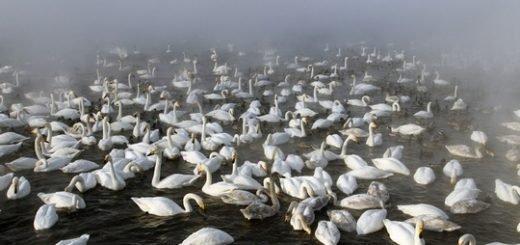 На Алтае зимует рекордное количество лебедей