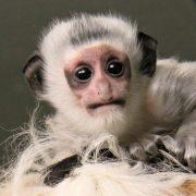 Белоснежная обезьянка родилась в Новосибирском зоопарке