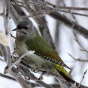 В Новосибирской области заметили редкую зелёную птицу