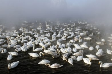 Летите лебеди. На озере Светлом подходит к концу сезон зимовки лебедей